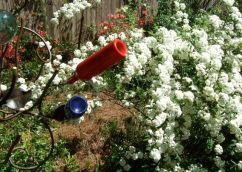 Spring spirea