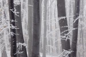Frozen Forest by Evgeni Dinev, courtesy of www.freedigitalphotos.net