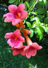 Trumpet vine in bloom