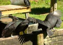Okefenokee buzzards