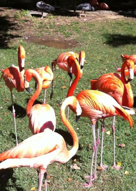 Flamingoes, Jackson Zoo