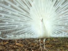 White peacock, Jackson Zoo