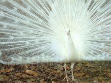 White peacock, Jackson Zoo
